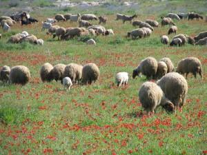 כבשים וכלניות
